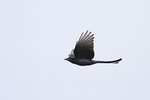 Black Drongo in courtship flight in early December.