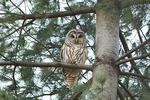 Barred Owl at its roost in a pine in mid-December.