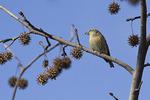 Female White-winged Crossbill in Sweetgum in mid-December.