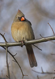 Female Northern Cardinal in late December.