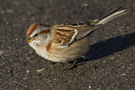 American Tree Sparrow (Spizelloides arborea) near feeders in late December. Formerly Spizella arborea.