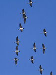 Canada Goose flock flying south in late December.