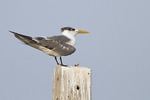 Great Crested Tern in early November.