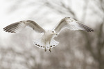 Second winter Ring-billed Gull in flight in mid-February.