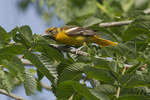 Adult female Baltimore Oriole foraging near the nest in mid-June.