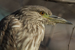 Immature Black-crowned Night-Heron in early January.