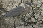 Immature Great Blue Heron swallowing a Sunfish (Pomoxis species), early January.