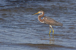 Tricolored Heron in late October.