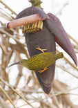 Streaked Spiderhunter perched on flower of banana plant.