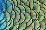 Indian Peafowl detail of feathers on back.