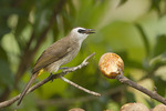 Yellow-vented Bulbul at a Lumud fruit feeder in early November.