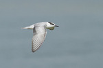 First fall Whiskered Tern in flight in mid-November.