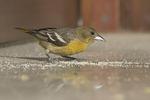 First winter female Baltimore Oriole in late January attracted to spilled sugar at the Boathouse Cafe, Central Park. New York, NY.