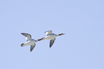 Female Common Mergansers in flight in late January.