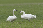 Tundra Swans in late February.