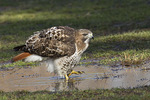 Adult Red-tailed Hawk standing in a puddle.