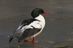 Male Common Merganser standing on ice in mid-January.