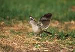 Northern Mockingbird flashing its wings.