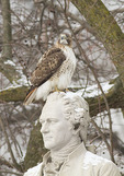 Adult Red-tailed Hawk perched on a statue of Alexander Hamilton.