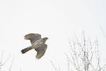Immature male Cooper's Hawk in flight in early February.