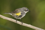 First spring male Yellow-rumped Warbler in mid-May on spring migration.
