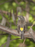 Female Yellow-rumped Warbler in early May on spring migration.