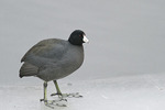 American Coot standing on ice in late January.