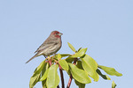 Male House Finch in Rhododendron in mid-November.