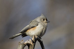 Tufted Titmouse in late January.