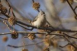 Tufted Titmouse in Sweetgum (Liquidambar styraciflua) in late November.