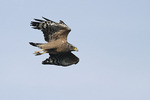 Crested Serpent Eagle in flight in October on fall migration.