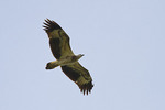 Immature White-bellied Sea Eagle in flight in late October.