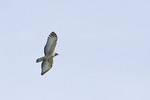 Jerdon's Baza in flight in late October on fall migration.