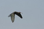 Immature Glossy Ibis in flight in early August.
