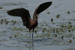 Immature Glossy Ibis in late July.
