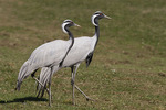 Demoiselle Cranes in late March. CAPTIVE.