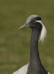 Demoiselle Crane in late March. CAPTIVE.
