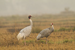 Sarus Crane pair. 