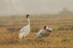 Sarus Crane pair.