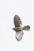 Adult female Shikra in flight on fall migration in mid-October.