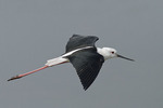 Male Black-winged Stilt in flight in mid-November.