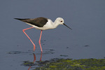Female Black-winged Stilt in mid-November.