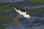 Black-winged Stilt in mid-November.