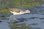 Marsh Sandpiper in mid-November.