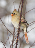 Female Northern Cardinal in mid-February.