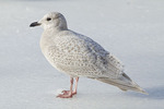 First-winter Iceland Gull standing on ice in mid-February.