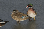 Wood Duck pair, female at left, standing on ice in early February.