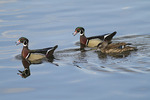 Wood Duck group in early February.