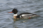 Adult male Red-breasted Merganser in late February.