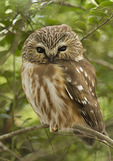 Northern Saw-whet Owl at its roost in in mid-February. 